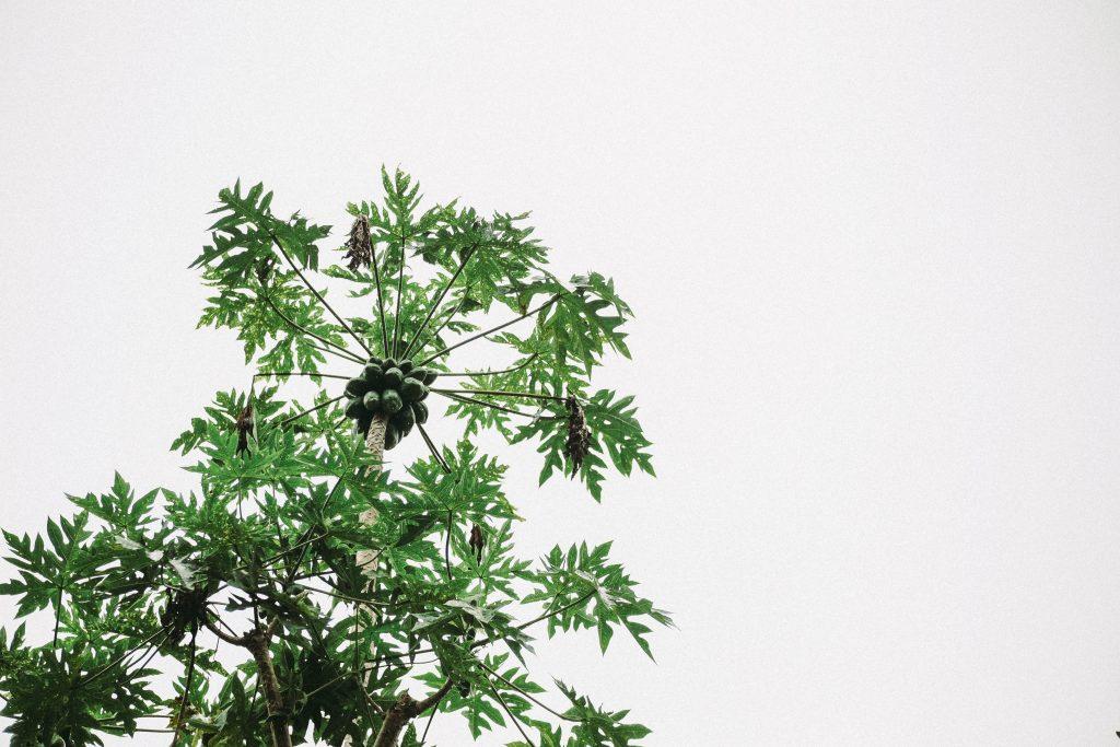 Papaya Bitkisi